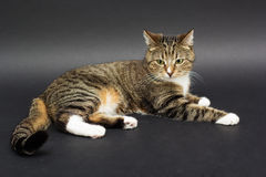 Small adult greeneyed tabby cat  on black Stock Image
