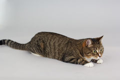 Small adult greeneyed tabby cat  on grey Stock Image