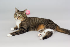 Small adult greeneyed tabby cat  on grey Stock Photography