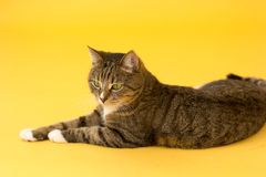 Small adult greeneyed tabby cat  on yellow Royalty Free Stock Images