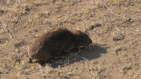 African Rocky Hyrax Chews And Looking For Food In The Dusty Ground. Small African animal is the rock Hyrax chewing the dry grass growing on the dusty desert stock footage