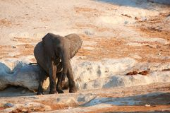 Small African elephant calf Stock Images