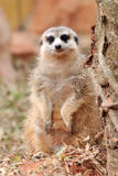 A small African mongoose Royalty Free Stock Image
