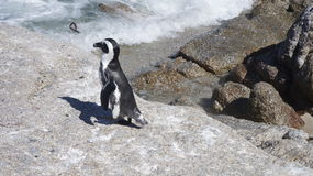 Small african penguin on stone. African penguin on stone and a little bit of ocean Royalty Free Stock Photos