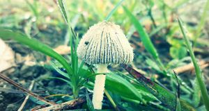 Small agaricus. A nice small agaricus Royalty Free Stock Images