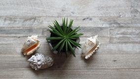 Small Agave Plant in Flowerpot Home Decoration and Seashells. . Small Agave Plant in Flowerpot and Seashells on Wooden Board. Artificial Plant. Home Decoration royalty free stock image