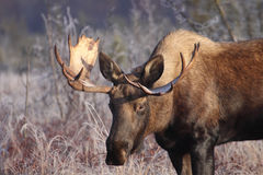 Small Alaska Bull Moose Royalty Free Stock Photography