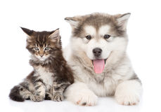 Small alaskan malamute dog with little maine coon cat together.  Stock Photos