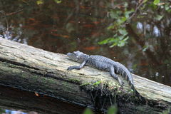 Small Alligator Stock Photo
