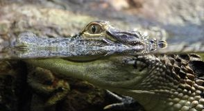 Small alligator in fresh water pond. Dangerous animal Royalty Free Stock Photos