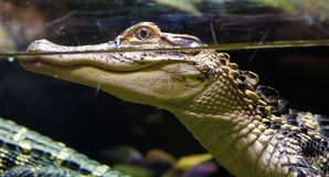 Small alligator in fresh water pond. Dangerous animal Royalty Free Stock Photography
