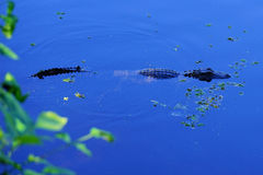 A small Alligator is swimming Stock Images