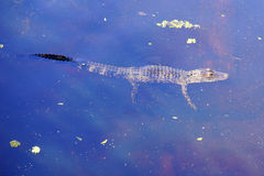 A small Alligator is swimming Royalty Free Stock Photography