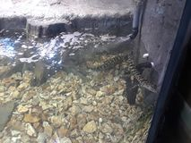 Small alligators in a water tank 1 stock images