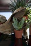 Small Aloe Vera Royalty Free Stock Images