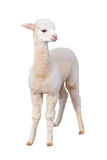 Small alpaca isolated Stock Photo
