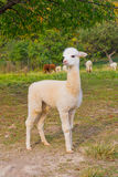 Small alpaca Royalty Free Stock Image