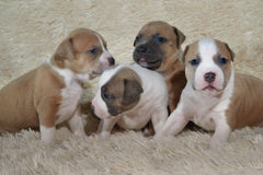 Small American staffordshire terrier puppies playing Stock Images