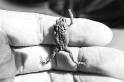 Black and white image of common toad with raised paw sitting on human fingers. Small amphibian Common toad climbing up on man`s hand in black and white shot Royalty Free Stock Photo