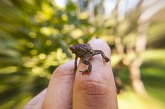 Common toad sitting on human finger with blurred trees background. Small amphibian Common toad climbing up on man`s hand Royalty Free Stock Photography