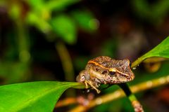 Frog looking through a branch royalty free stock photos