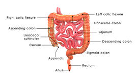 Free Small And Large Intestine Stock Photography - 46887352