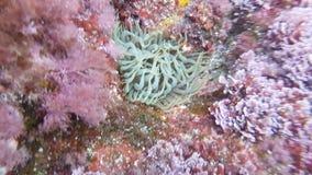 Small Anemone underwater in Sardinia, Mediterranean Sea royalty free stock image