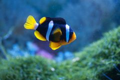 Small anemonefish. In the aquarium royalty free stock images