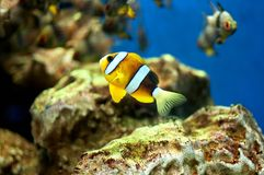 Small anemonefish Royalty Free Stock Photography