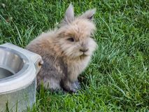 Small Angora Hare. Image of a young Angora Rabbit hare. Taken near Denver Colorado. Little fuzzy guy, sitting in the green grass.The Angora rabbit Turkish Royalty Free Stock Image