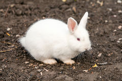 Small Angora Rabbit. Small Cob Of Angora Rabbit Against Wet Brown Dirt royalty free stock images