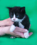 Small angry black and white kitten in hand on green Stock Photography