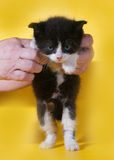 Small angry black and white kitten in hand on yellow Stock Images