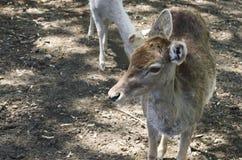 Small animal deer Royalty Free Stock Photos