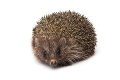 Small animal hedgehog isolated. On white background Stock Photo