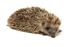 Small animal hedgehog. Isolated on white background stock image