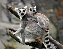 Small animal lemur. Detail view, small animal lemur royalty free stock photography