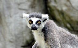 Small animal lemur. Detail view, small animal lemur royalty free stock image
