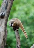 Small animal lemur Stock Photos