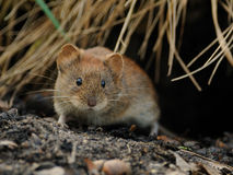 Bank Vole (Myodes Glareolus). This small animal lives in the woodlands in western Europe and northern Asia. This one is just going out of their den Royalty Free Stock Photography