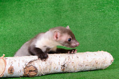 Small animal marten Stock Image