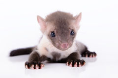 Small animal marten. On white background Royalty Free Stock Photos