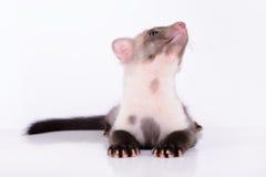 Small animal marten. On white background stock image