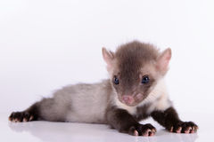 Small animal marten. On white background stock photography