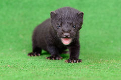 Small animal mink Royalty Free Stock Photos