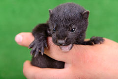 Small animal mink Stock Photo