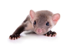 Small animal rodent. Ferret on a white background stock images