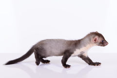 Small animal rodent Stock Images