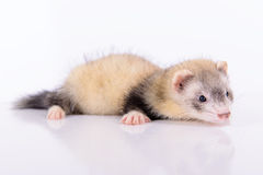 Small animal rodent Stock Image