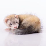 Small animal rodent. Ferret on a white background Stock Image